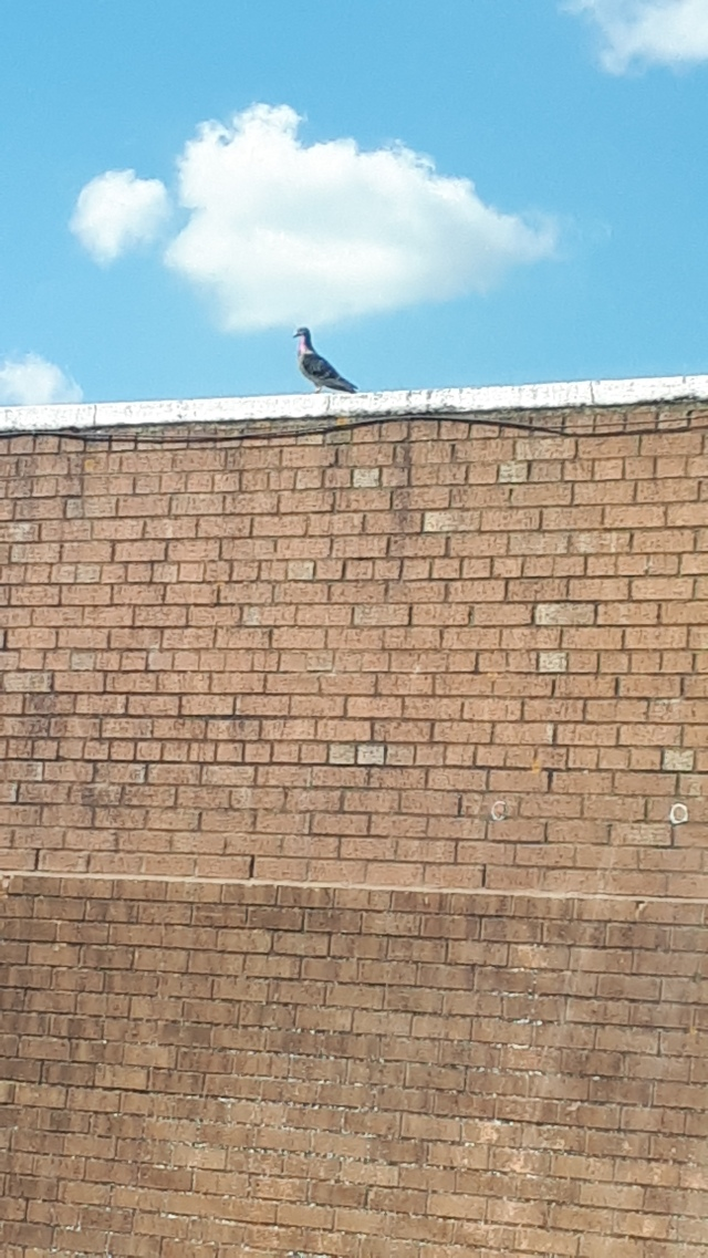 Skinny Pigeon On Rooftop.