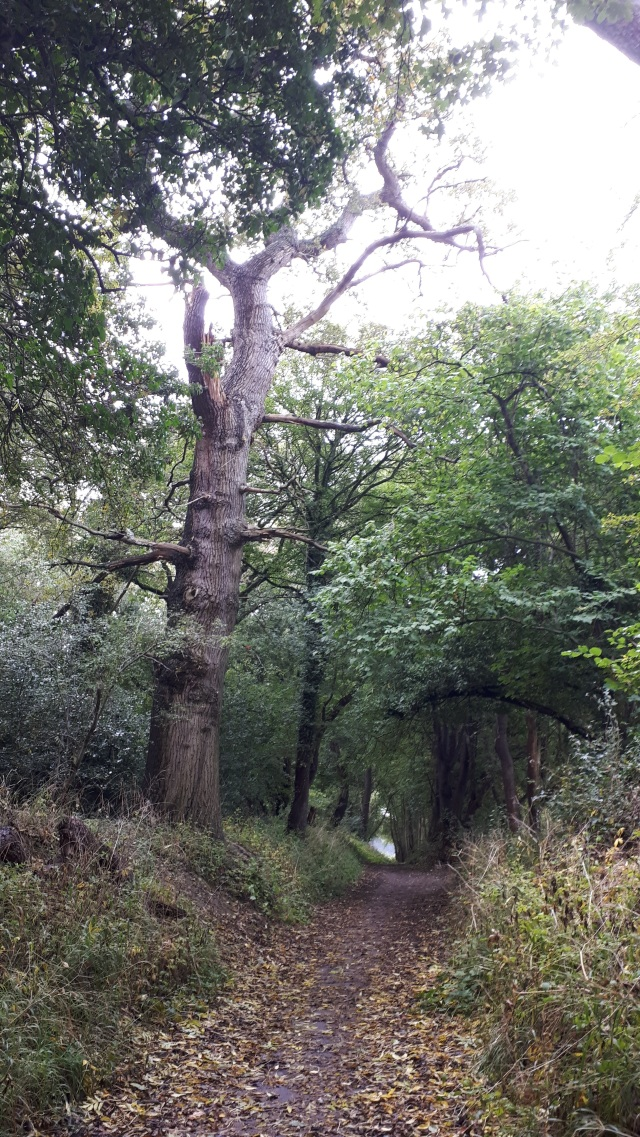 An old oak tree pictured standing at edge of ancient bridleway between Watford and St.Albans.
